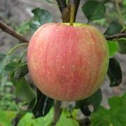Саженцы яблонь Чемпіон фото