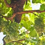 Виноград оптом фото