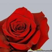 Роза Freedom фото