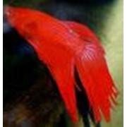 Петушок большой бойцовая рыбка КРАСНЫЙ (Betta Splendens Betta Male Longtail Red) фото