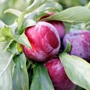 Слива сушеная без косточки (Prunus domestica) фото