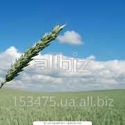 АТК - крупный украинский производитель кукурузы, сои, пшеницы, рапса и ячменя фото