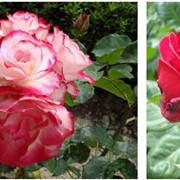 Розы садовые фото
