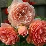 Роза староанглийская Вильямс Моррис. фото