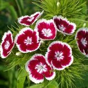 Семена гвоздики турецкой фото