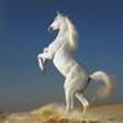 Лошади полукровные Кустанайские, Лошади фото