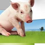Мясо свинины полутуши охлажденное продажа фото