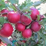 Продам Яблоки из Молдавии фото