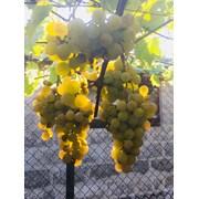 Продам саженцы столовых сортов винограда фото