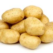 Семенное хозяйство реализует картофель элитных сортов Рокко фото