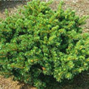 Ель обыкновенная Ломбартси (Picea abies Lombartsii) фото