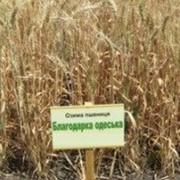 Семена озимой пшеницы Антоновка 1 репродукция фото
