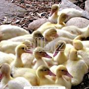 Концентрат 30% для водоплавающей птицы (ТМ Калинка) фото