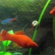 Рыбка меченосец фото