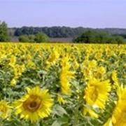 Насіння соняшнику Ясон 2-а фракція. Купити насіння соняшнику в Запоріжжі. фото
