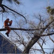 Кронирование деревьев. Обрезка веток деревьев. фото