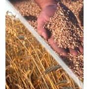 Пшеница твердая, мягкая фото
