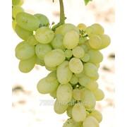 Виноград Виктория в Молдове фото