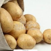 Картофель среднепоздний фото
