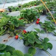 Выращивание клубники (земляники) фото