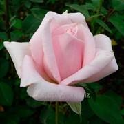 """Роза чайно-гибридная """"Мерхен Кенинг"""" (саженец с ЗКС) фото"""
