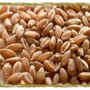 Пшеница (3,4,5 класс) фото