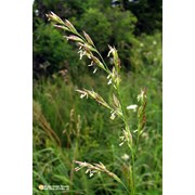 Овсяница луговая (Festuca pratensis) фото