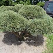 Бонсай Pinus sylvestris Watereri Bonsai фото