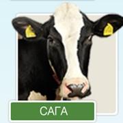Разведение коров Галштанской породы. фото