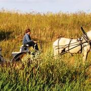 Продажа упряжных лошадей фото