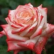 Роза чайно-гибридная Императрица Фарах фото