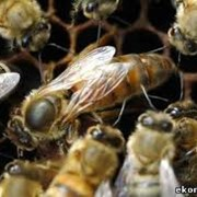 Пчелиные матки Хмельницкая область фото