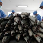 Морская рыба Предоставляем услуги: переработки рыбы фото
