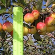 Принимаем от населения и из хранилищ здоровые и нестандартные яблоки для переработки перерабатывающим предприятием фото