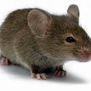 Уничтожение мышей. Николаев фото