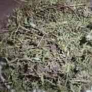 Чабрец трава фото