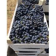 Виноград  сорт  Молдова от производителя фото