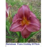 "Лилейник ""Frans Knobby"" - Hemerocallis ""Frans Knobby "",фото, каталог, описание фото"