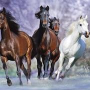 Фотокартины, Фото бегущие кони фото