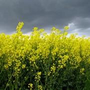 Рапс. Производство зерновой и масличной сельскохозяйственной продукции высокого качества. фото