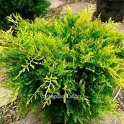 Можжевельник Juniperus x pfitzeriana Golden Joy фото