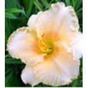 Лилейник мелкоцветковый - Олей, Blyth`93 фото