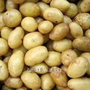 Картофель посевной Адретта 1 РС фото