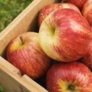Яблоко зимние - большой выбор саженцев фото