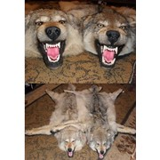 Ковер чучело из волка фото