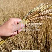 Зерно продовольственное фото