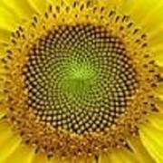Семена подсолнечника Богдан (евро-лайтинг) фото