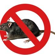 Дератизация, уничтожение грызунов: крыс и мышей фото