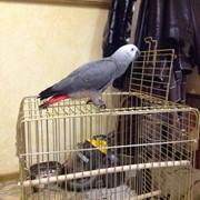 Попугай Жако фото