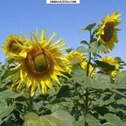 Семена подсолнечника Фаворит фото